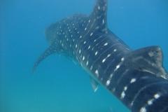 Whaleshark back